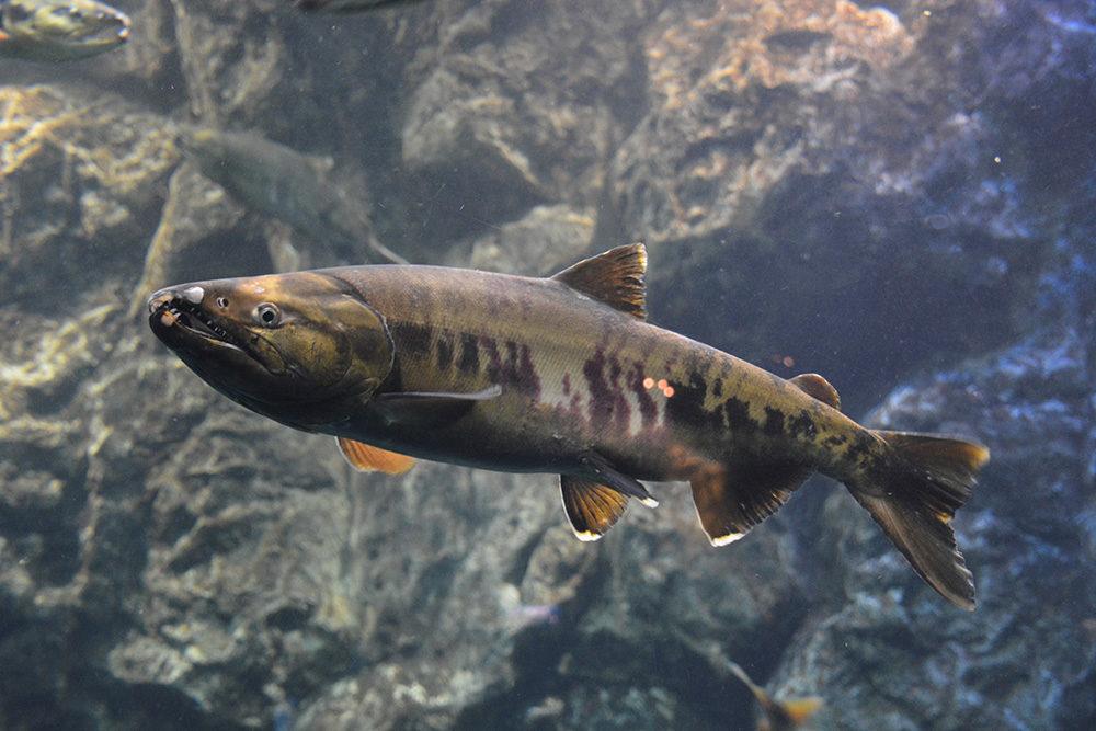 サケのふるさと千歳水族館